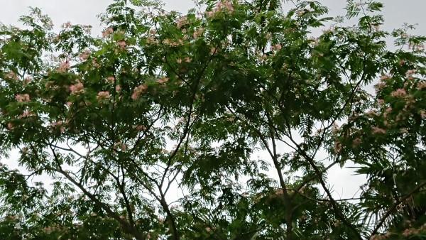 DSC_0128ねむの木
